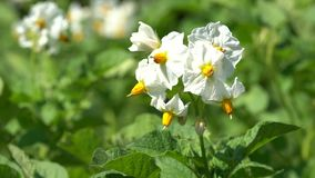Potato, Solanum tuberosum stock video