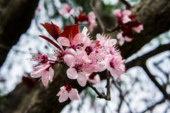 Plum tree flowers. Precious plum tree flowers. A springtime image Royalty Free Stock Photo