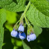 Blossom Prickly Comfrey, Symphytum Asperum, flowers and leaves close-up, selective focus, shallow DOF.  Royalty Free Stock Images