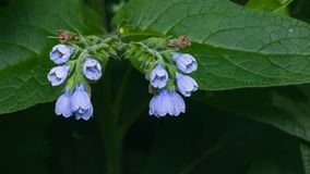 Blossom Prickly Comfrey, Symphytum Asperum, flowers and leaves close-up, selective focus, shallow DOF.  Stock Images
