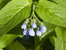 Blossom Prickly Comfrey, Symphytum Asperum, flowers and leaves, close-up, selective focus, shallow DOF Royalty Free Stock Image