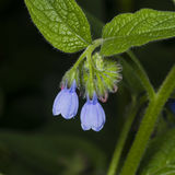 Blossom Prickly Comfrey, Symphytum Asperum, flowers and leaves, close-up, selective focus, shallow DOF Stock Photography