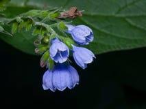 Blossom Prickly Comfrey, Symphytum Asperum, flowers and leaves close-up, selective focus, shallow DOF.  Stock Photos