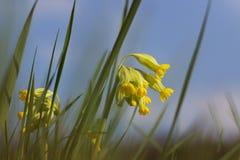 Blossom a primula veris Royalty Free Stock Image