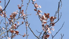 Blossom, Prunus cerasifera (Blutpflaume) against blue sky stock video