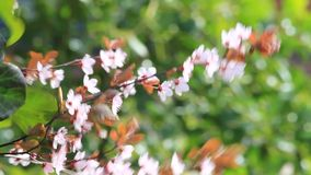 Blossom, Prunus cerasifera (Blutpflaume), flowers in springtime stock video
