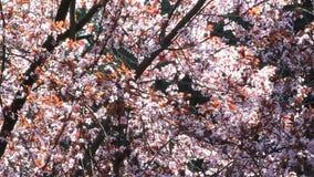 Blossom, Prunus cerasifera Blutpflaume, flowers in springtime stock video