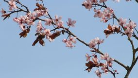 blossom Prunus cerasifera (Blutpflaume) stock video footage