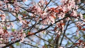 Blossom, Prunus cerasifera (Blutpflaume); flowers in springtime stock video footage