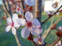 Blossom of the Prunus or Flowering Plum. The delicate blooms of  the Prunus tree or of the Purple leaf plum, its more common name. The flowers vary by type from Royalty Free Stock Photos