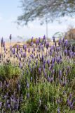 Blossom of purple lavender plant in garden. Blossom of purple aromatic lavender plant in garden royalty free stock images