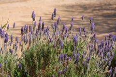 Blossom of purple lavender plant in garden. Blossom of purple aromatic lavender plant in garden stock photo