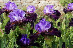 Blossom of purple irises. Spring blossom of different purple irises Royalty Free Stock Image