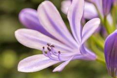 Blossom of a purple lily in detail royalty free stock photos