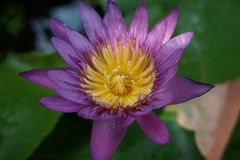 Blossom purple lotus. A beautiful blossom purple lotus Royalty Free Stock Photography