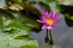 Blossom Purple Lotus Flower Royalty Free Stock Photos