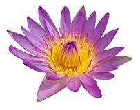 Blossom purple lotus isolated on white stock images