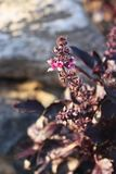 Blossom purple Ocimum basilicum Royalty Free Stock Images