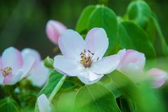 Blossom of quince in late spring.  stock photography