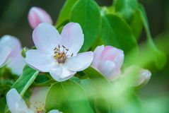 Blossom of quince in late spring.  stock images