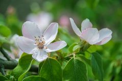 Blossom of quince in late spring.  stock image
