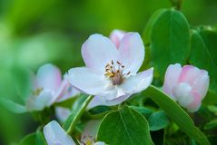 Blossom of quince in late spring.  stock photos