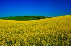 Blossom rape field Stock Photo