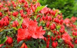Blossom of red azalea flower in spring garden. Gardening concept. Floral background.  stock images