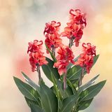 Red Canna lily. Blossom of Red Canna lily flowers Royalty Free Stock Photography