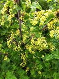 Blossom red currant. Garden plants stock images