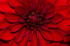 Blossom of red dahlia. Portrait of red dahlia. Macro photography of nature Royalty Free Stock Image