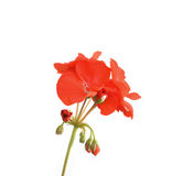 Blossom red geranium Stock Image