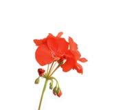Blossom red geranium. Over white. Shallow DOF Stock Image
