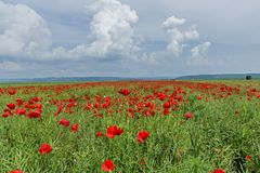 Blossom red poppy flower field against dramatic cloudy sky. Royalty Free Stock Photo
