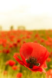 Blossom of red poppy flower in nature Stock Images