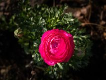 Blossom of a red ranunculus flower in the garden stock images