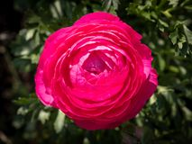 Blossom of a red ranunculus flower in the garden royalty free stock image