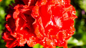 Blossom of a red rose Stock Image