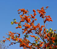 Blossom of the Red Silk Cotton Tree Stock Images