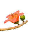 Blossom of the Red Silk Cotton Tree Royalty Free Stock Image
