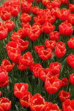 Blossom Red Tulip Stock Photo