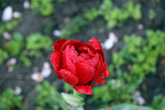 Blossom red tulip Royalty Free Stock Photo