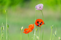 Blossom of the red wild poppies. With seeds stock images