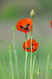 Blossom of the red wild poppies. With seeds royalty free stock photos