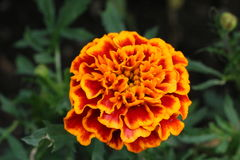 Blossom Royalty Free Stock Image