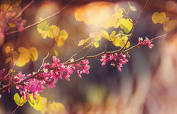 Blossom. Redbud tree pink flowers, spring background Royalty Free Stock Photo