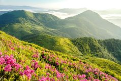 Blossom of rhododendron. In Ukrainian Carpathians stock images