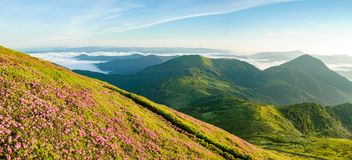 Blossom of rhododendron in mountain. royalty free stock image