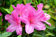Blossom Rhododendron. Royalty Free Stock Images