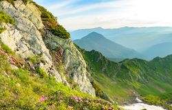 Blossom on rhododendron on rock in mountains royalty free stock photo